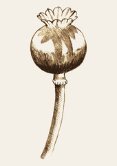 Sketch illustration of an opium plant