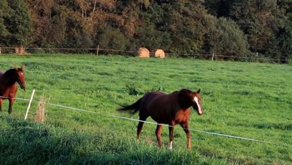 Zwei braune Pferde gehen im Schritt  auf der Weide