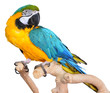 Blue and Gold Macaws - 74656847