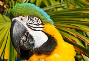 Tropical Blue and Gold Macaw