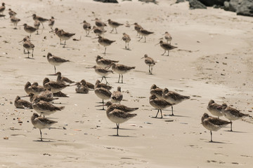flock of godwits on sandy beach