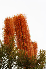 Banksia Plant