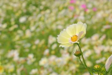 コスモス Cosmos Flower