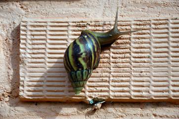 Snail or Gastropod