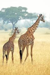 Couple of giraffes walking in Serengeti Tanzania
