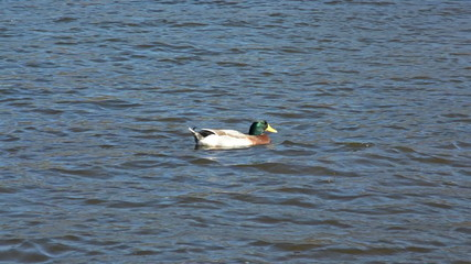 Duck is swimming on water