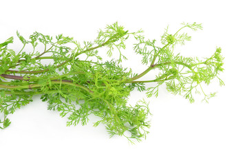 Coriander bunch on white