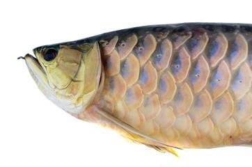fish Golden Arowana