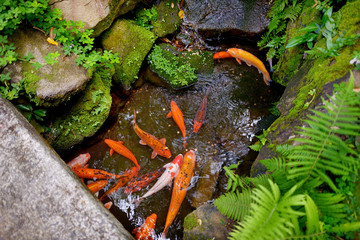 Big trouts in a park near the Byodo-in temple