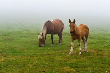 Jument et  poulain dans la brume