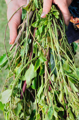 Khat in hands