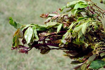 leaves of khat