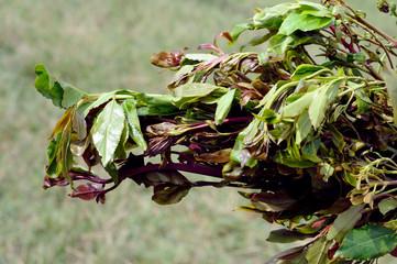 leaves of khat