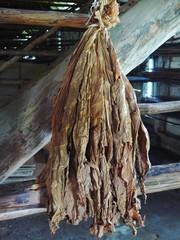 Cuba feuilles à tabac séchées