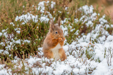 Red squirrel feeding in Winter