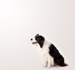 canvas print picture - Cute border collie with copy space