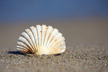 Beautiful sea shell on sandy beach