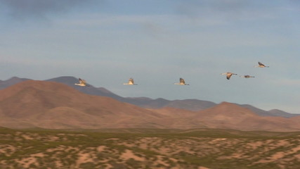 Sandhill Cranes Taking Flight