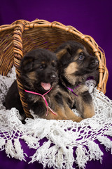 German shepherd puppies sitting in a basket.  Purple background.
