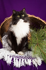 Black and white fluffy cat sitting near the basket. Purple