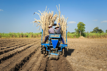 Farmers was sugarcane field plant with tractor