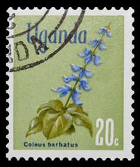Coleus barbatus