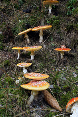 Fliegenpilze wachsen treppenartig im Wald