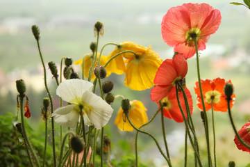 papaveri e fiori