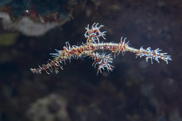 Ornate ghost pipe fish sea horse family
