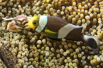 porcelain crab and clown fish