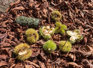 Kastanien mit geöffnetem Fruchtbecher im Herbstlaub