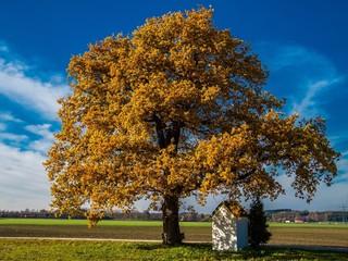 Laubaum in seinem herbstlichen Kleid