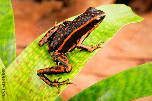 orange striped poison dart frog