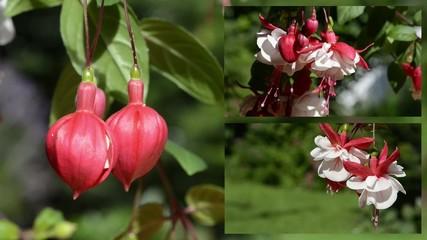 Fuchsien collage