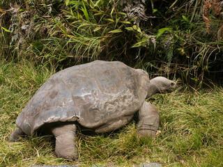 Galapagos Tortoise Looking Away