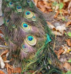 elegant fluffy peacock (Pavo Cristatus)