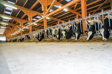 Moderner Rindviehstall, Rinder fressen Silage durch Fressgitter