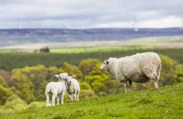 Family on the Meadow - Scottish Sheep and Two Lambs, Scotland