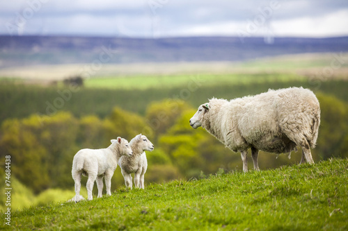Foto op Plexiglas Schapen Family on the Meadow - Scottish Sheep and Two Lambs, Scotland