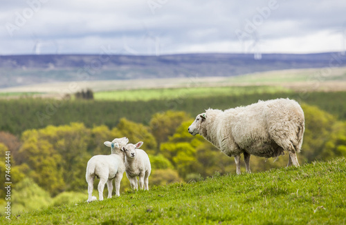 Poster Schapen Family on the Meadow - Scottish Sheep and Two Lambs, Scotland