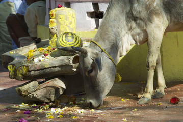 Holy cow looks for food in downtown Orchha, India.