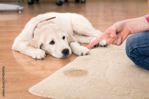 house training of guilty puppy - 74686456