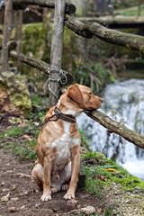 cane legato con catena