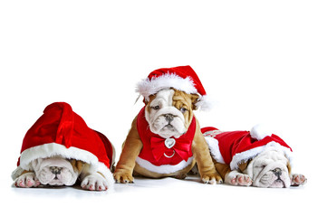 English bulldog puppies in christmas costumes isolated