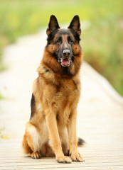 Adult German Shepherd Dog