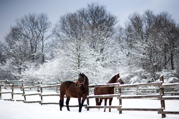 Chestnut brown horses in a cold winter pasture