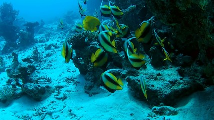 Shoal of bannerfish  on the coral reef
