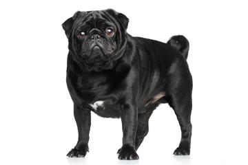Black Pug on white