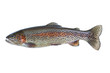 Native Rainbow Trout on White - 74699002