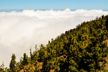 High Clouds over Pine Cone Trees Forest